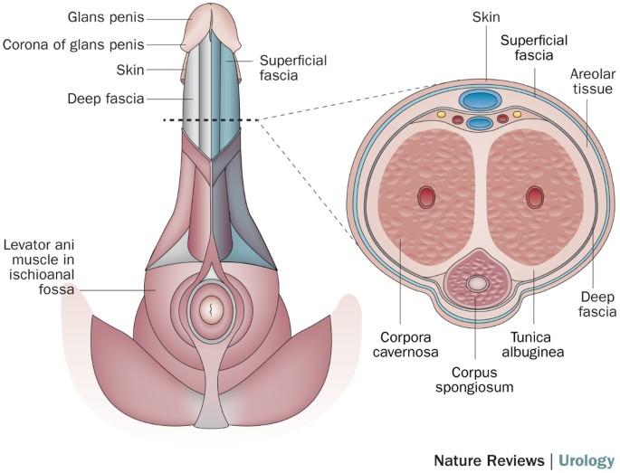 Gonadotropin suurendas peenise